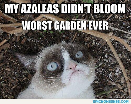 Grumpy Azaleas