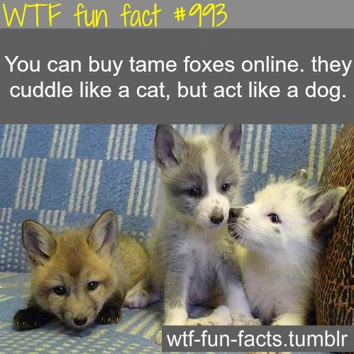 Tame Foxes