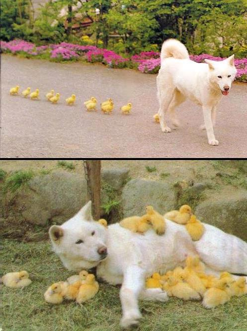 Duck Mafia II